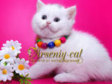Кошки, котята Шотландская вислоухая, цена 1000 Грн., Фото