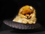 Собаки, щенки Карликовый шпиц, цена 35000 Грн., Фото