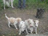 Собаки, щенки Русская борзая, цена 5 Грн., Фото
