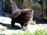 Кошки, котята Британская длинношёрстная, цена 1100 Грн., Фото
