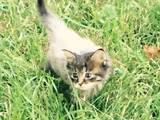 Кішки, кошенята Невідома порода, ціна 400 Грн., Фото