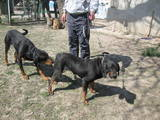 Собаки, щенята Різне, ціна 2300 Грн., Фото