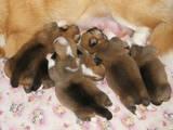Собаки, щенки Вельш корги пемброк, цена 20000 Грн., Фото