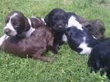 Собаки, щенки Английский спрингер спаниель, цена 400 Грн., Фото