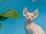 Кошки, котята Канадский сфинкс, цена 1500 Грн., Фото