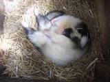 Тварини Фреткі, тхори, ціна 850 Грн., Фото