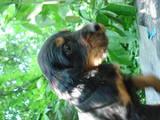 Собаки, щенки Сеттер-гордон, цена 3200 Грн., Фото