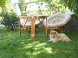 Собаки, щенята Довгошерстий коллі, ціна 7000 Грн., Фото