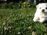 Собаки, щенки Мальтийская болонка, цена 4600 Грн., Фото