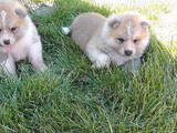 Собаки, щенки Акита-ину, цена 14000 Грн., Фото