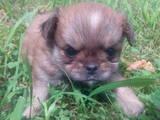 Собаки, щенята Пекінес, ціна 900 Грн., Фото