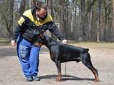 Собаки, щенята Доберман, ціна 8000 Грн., Фото