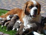 Собаки, щенята Сенбернар, ціна 2500 Грн., Фото