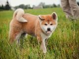 Собаки, щенята Акіта-іну, ціна 14440 Грн., Фото