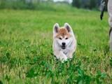 Собаки, щенки Акита-ину, цена 14440 Грн., Фото
