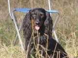 Собаки, щенки Длинношерстная такса, цена 4500 Грн., Фото