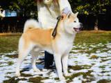 Собаки, щенята Акіта-іну, ціна 1000 Грн., Фото
