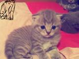 Кошки, котята Шотландская вислоухая, Фото