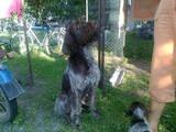 Собаки, щенята Німецька жорсткошерста лягава, ціна 500 Грн., Фото