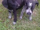 Собаки, щенята Німецька гладкошерста лягава, ціна 350 Грн., Фото