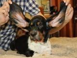 Собаки, щенки Бассет, цена 2300 Грн., Фото
