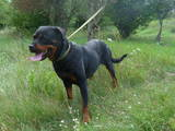 Собаки, щенки Ротвейлер, цена 7999 Грн., Фото