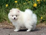 Собаки, щенки Малый шпиц, цена 2000 Грн., Фото