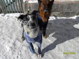 Собаки, щенята Доберман, ціна 10 Грн., Фото