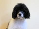 Собаки, щенки Малый пудель, цена 3000 Грн., Фото