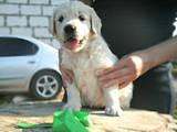 Собаки, щенки Золотистый ретривер, цена 6000 Грн., Фото