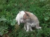 Собаки, щенки Восточно-Сибирская лайка, цена 900 Грн., Фото