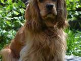 Собаки, щенки Американский коккер, цена 1500 Грн., Фото