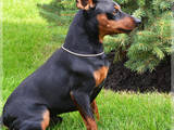 Собаки, щенки Пинчер, цена 7000 Грн., Фото