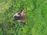 Собаки, щенки Бультерьер, Фото