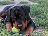 Собаки, щенки Ротвейлер, Фото