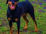 Собаки, щенята Пінчер, ціна 15000 Грн., Фото