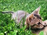 Кішки, кошенята Абіссінська, ціна 15000 Грн., Фото