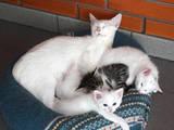 Кошки, котята Европейская короткошерстная, цена 1 Грн., Фото