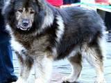 Собаки, щенята Кавказька вівчарка, Фото