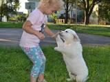 Собаки, щенята Золотистий ретрівер, ціна 9000 Грн., Фото