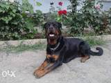 Собаки, щенки Ротвейлер, цена 4500 Грн., Фото
