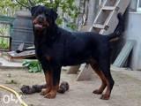 Собаки, щенята Ротвейлер, ціна 4500 Грн., Фото