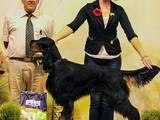 Собаки, щенята Сетер-гордон, ціна 10000 Грн., Фото