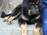 Собаки, щенки Тибетский мастиф, цена 15000 Грн., Фото