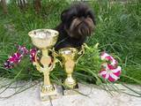 Собаки, щенки Брюссельский гриффон, цена 6500 Грн., Фото