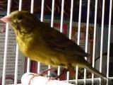 Попугаи и птицы Канарейки, цена 150 Грн., Фото
