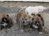 Собаки, щенята Акіта-іну, ціна 24000 Грн., Фото