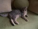 Кошки, котята Неизвестная порода, цена 2 Грн., Фото