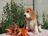 Собаки, щенки Бигль, цена 8700 Грн., Фото