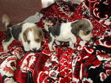 Собаки, щенки Бигль, цена 2100 Грн., Фото